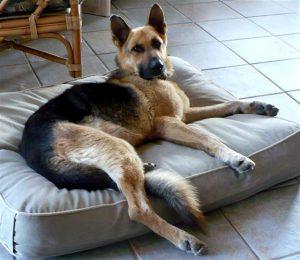 german-shepherd-boone